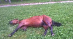 pretucen konj petface