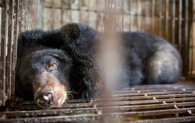 za oslobađanje medveda petface
