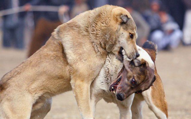 zasto se psi tuku petface