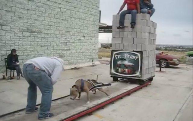 takmicenje pasa u vuci blokova petface