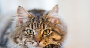 pojavu raka kod macaka petface