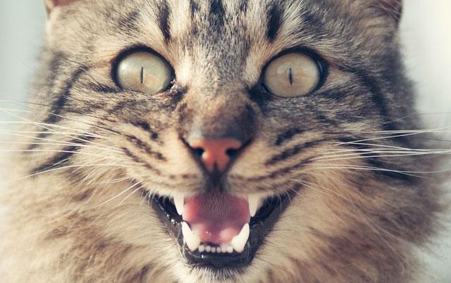 alergijski sok kod macaka petface