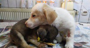bolesno štene daje petface
