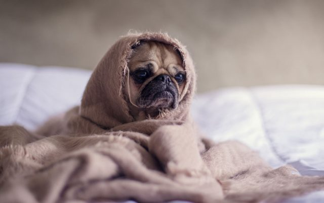 prehlada kod pasa petface
