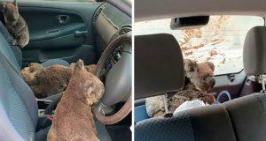 spasili tri koale petface