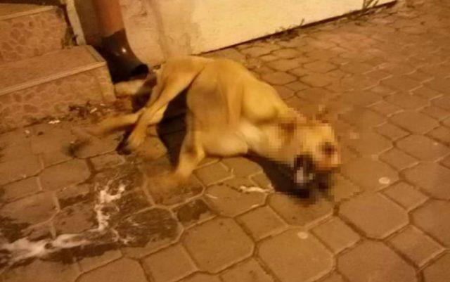 psi umiru u grockoj petface