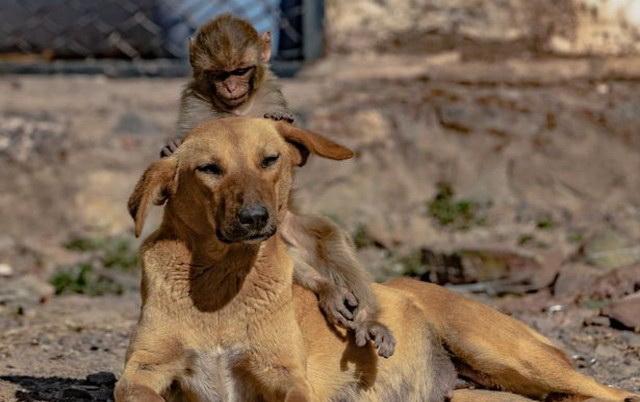 Keruša usvojila majmunče, petface