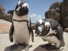 Pingvini govore kao ljudi, petface