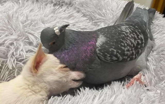 Pas i golub najbolji drugari. petface