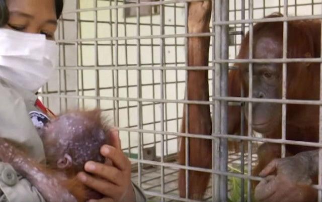 Emotivni susret mame i bebe orangutana, petface