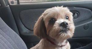 Sigi napušten pas