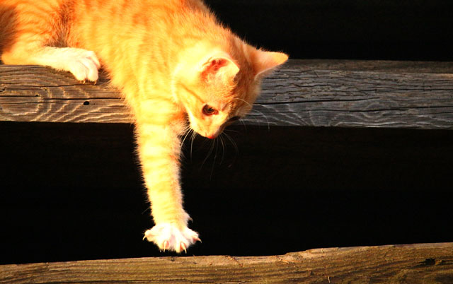 mačka u lovu