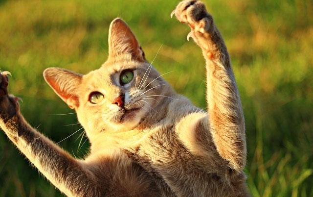 mačka skače