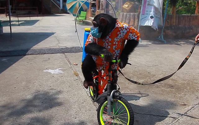 majmun nosi masku