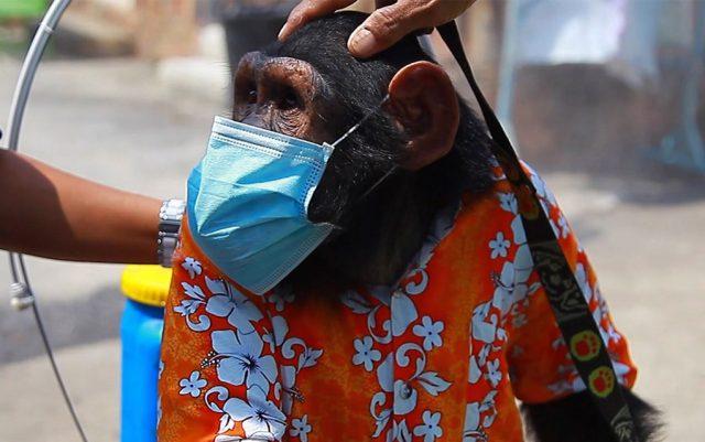 majmun sa maskom