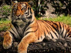 Prvi tigar u svetu zaražen korona virusom petface