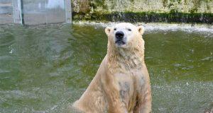 beli medved u zoo vrtu