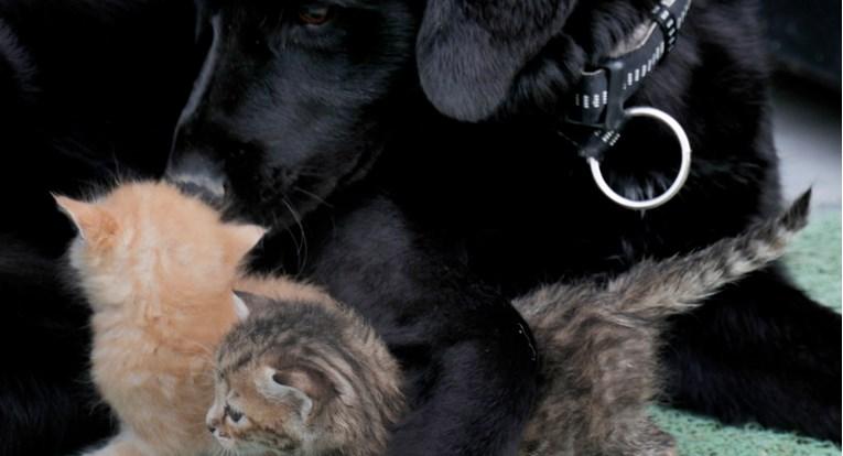 Udomljeni pas postao dadilja mačićima siročićima!