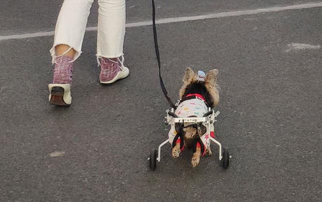 pas u invalidskim kolicima