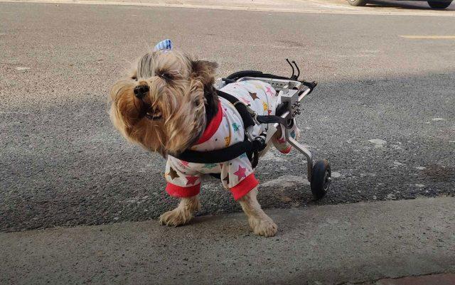 pas u kolicima