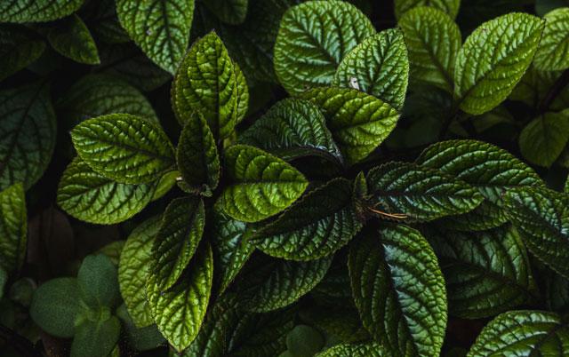 biljka menta