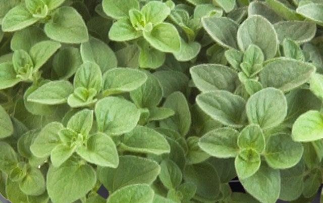 biljka origano