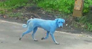 plavi psi u indiji