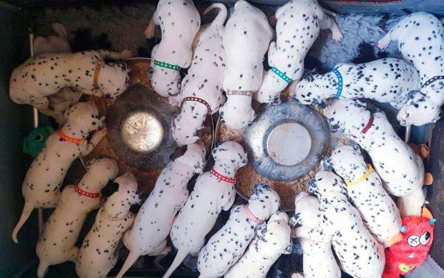 rodila 18 štenaca