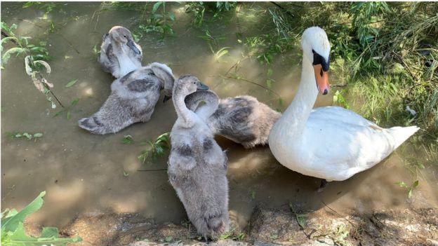 POVREĐENA LABUDICA LUTA SAVOM: Porodica labudova čeka da se mama OPORAVI! (FOTO)