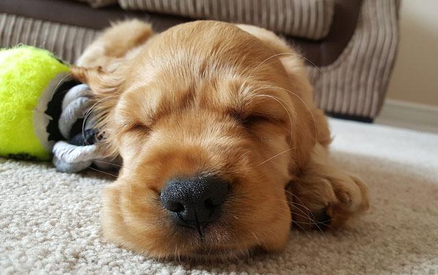 da li psi sanjaju