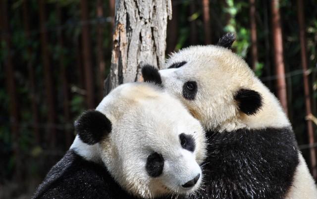 PRAVI JE REKORDER: Mužjak pande proslavio rođendan i postao najstariji među svojom vrstom!