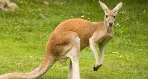kengur bijeljina