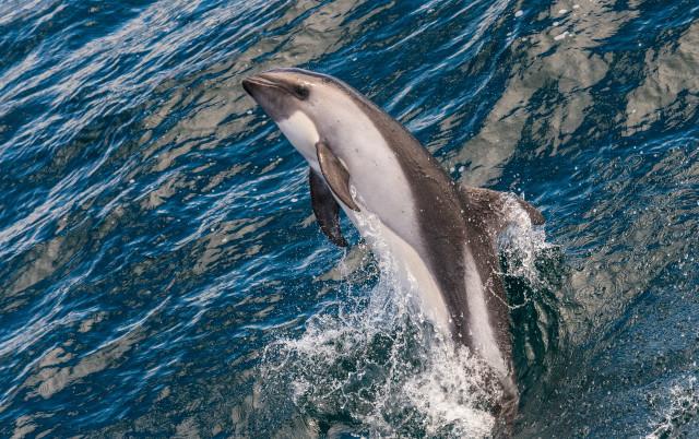 JEZIV PRIZOR U AUSTRALIJI Kitovi se masovno nasukali na obalu Tasmanije, uginulo najmanje 90!