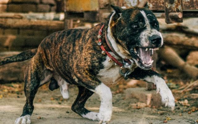 UŽAS U SELU PETRIJEVO KOD SMEDEREVA: Strašni i nehumani uslovi odgajanja pit bulova?