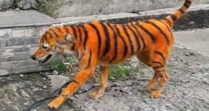 ulični tigar, petface