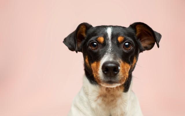 Pas može da NANJUŠI hipoglikemiju kod vlasnika i... Ove činjenice o njima sigurno NISTE znali!