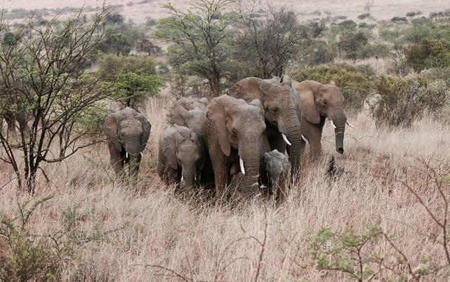 SVE ZAVISI OD ČOVEKA? Broj slonova u Keniji udvostručio se u poslednjih tridesetak godina!