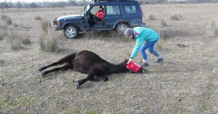 OD ZAROBLJENIŠTVA DO SLOBODE! Ovaj konj pretrpeo je sve ali se nije dao! (VIDEO)