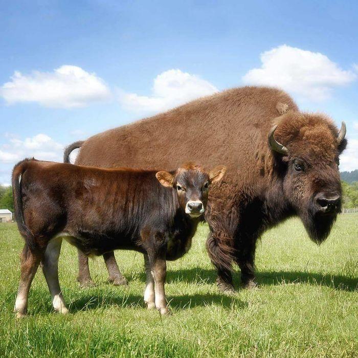 PRELEPO PRIJATELJSTVO: Slepu ženku bizona ignorisale su sve životinje na farmi, a onda je upoznala njega!