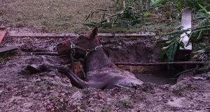 konj pao u septičku jamu