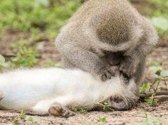 majmun pruža prvu pomož