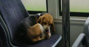 Napušten pas se vozi autobusom