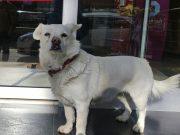 veran i tužan pas čeka