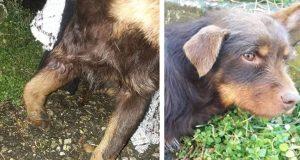 Udarenom psu koji je ležao kraj puta ukazana pomoć
