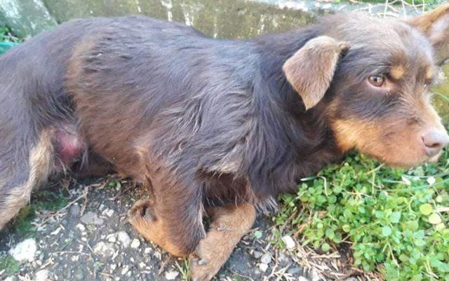 povredjen pas leži