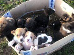Poplava odbačenih štenaca