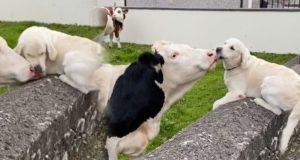 dirljiv susret psa i krave