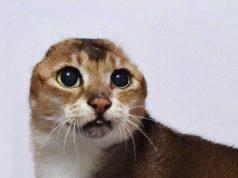 Mačak bez ušiju