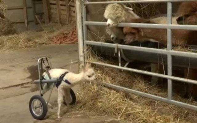 beba alpake prohodala