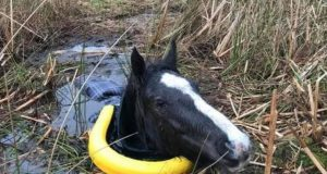 konj spasen iz blata